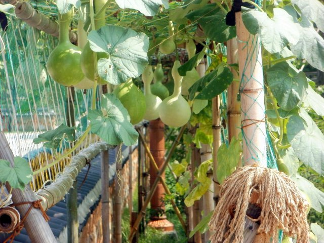Summer Gourds