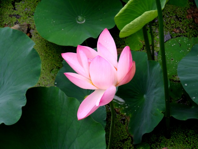 Lotus Budding
