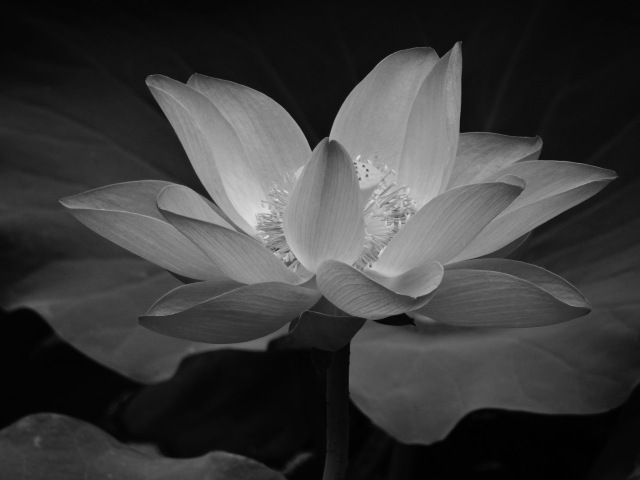 B&W Blooming Lily