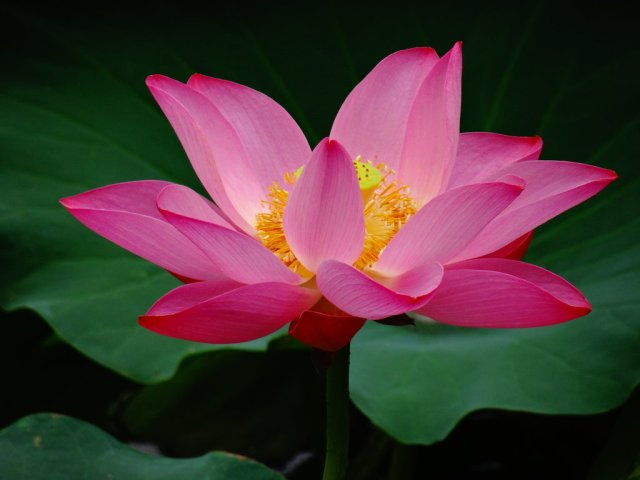 lotus_blossom_by_deceptivelyblonde-d6ezndh